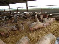 Granjas-de-cerdos_